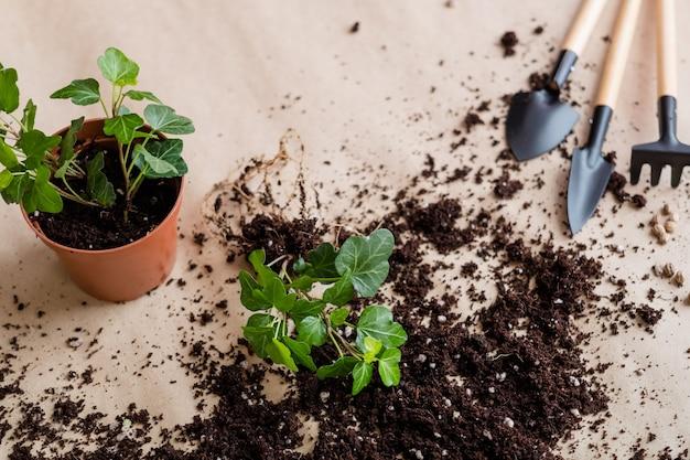 Processo di germinazione della piantina. concetto di giardinaggio domestico. trapianto di piante.