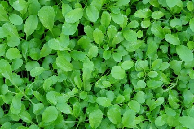 Insalata verde semenzale.