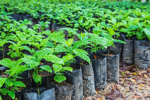 Piantine di piante di caffè in un vivaio