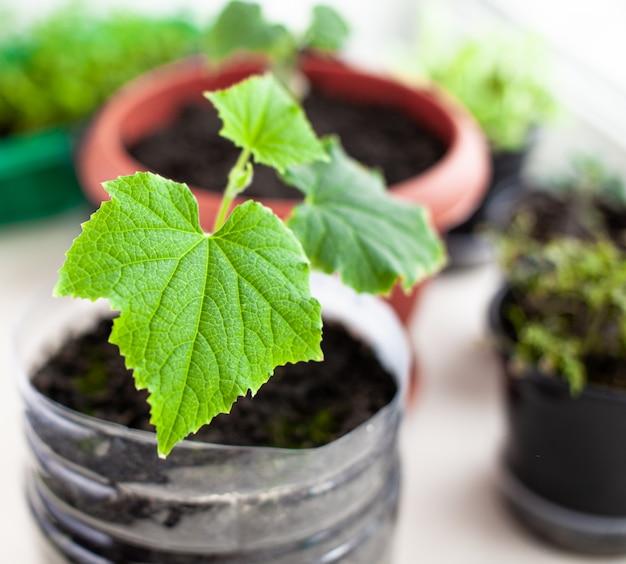 Piantine di cetrioli e piante in vasi di fiori vicino alla finestra, un primo piano foglia verde. coltivare cibo in casa per uno stile di vita ecologico e sano. piantine in crescita a casa nella stagione fredda
