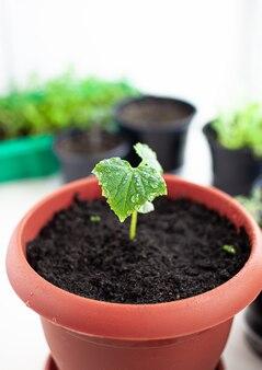 Piantine di cetrioli in vaso vicino alla finestra, un primo piano foglia verde. coltivare cibo in casa per uno stile di vita ecologico e sano. piantine in crescita a casa nella stagione fredda