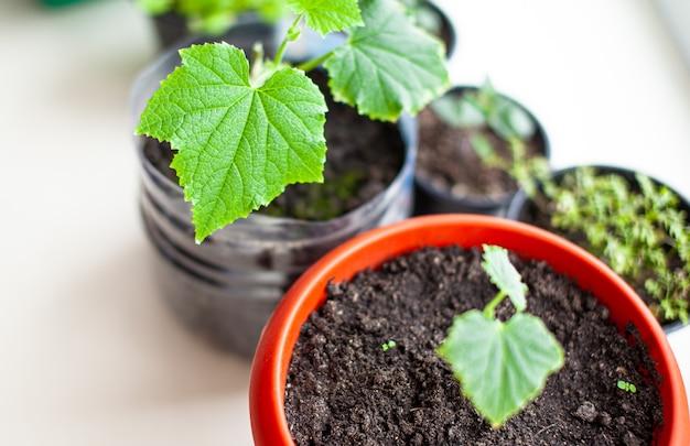 Piantine di cetrioli in vasi vicino alla finestra un primo piano di una foglia verde