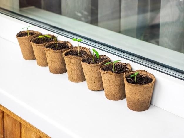Piantine in vasi di torba biodegradabili ecologici. molti giovani germogli sono spuntati in primavera a casa.