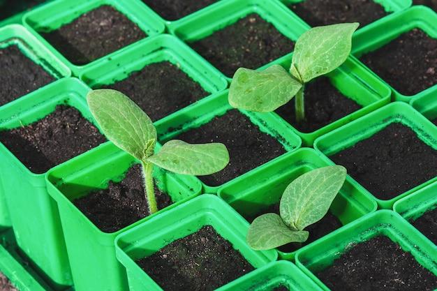 Piantine in contenitori di plastica verde qualità germinativa dei semi di ortaggi giardinaggio biologico
