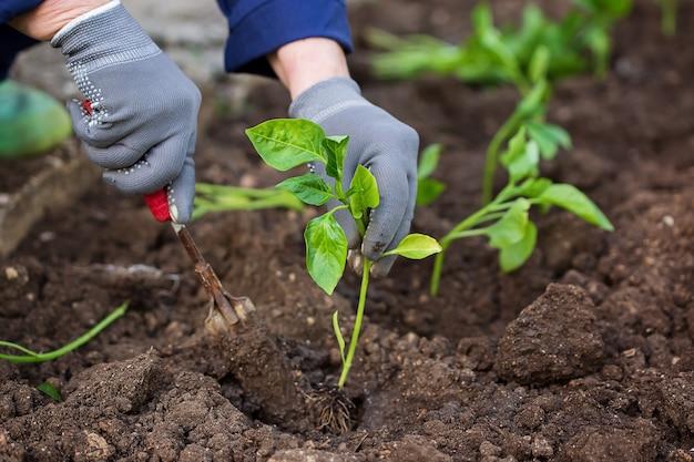 Pepe di piantine. lavori di giardinaggio. piantare piantine di pepe. cespuglio di pepe nel terreno. piantare in primavera