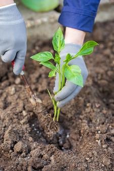 Pepe di piantine. lavori di giardinaggio. piantare piantine di pepe. cespuglio di pepe nel terreno.