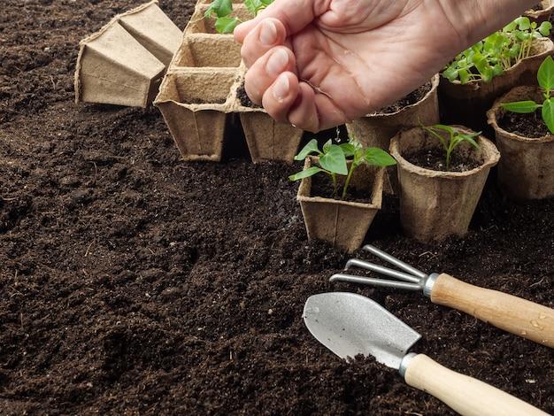 Piantine di piante in vasi di torba in piedi sul terreno vengono annaffiate con acqua dalla mano.