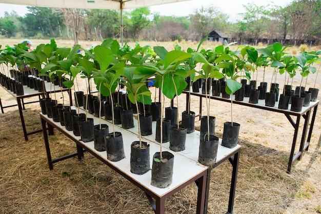 Piantine degli alberi del tek su una piantagione in tailandia