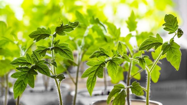 Piantine di pomodori in serra, foglie verdi di pomodori, pomodori in crescita_