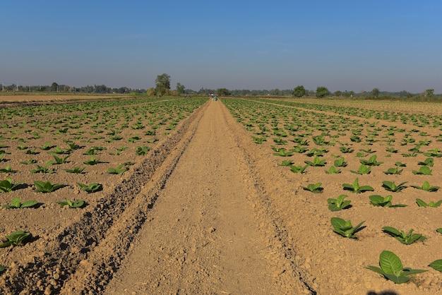 Piantine e piantagioni di tabacco primaverile, che crescono con la luce del sole, a sukhothai, nel nord della thailandia