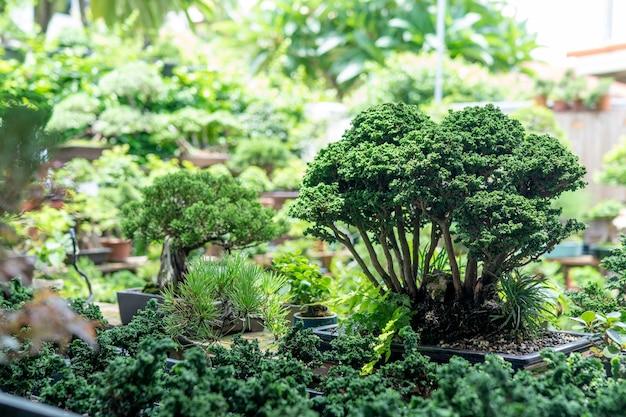Sekka hinoki bonsai un piccolo albero che è stato ridotto e sembra una minuscola foresta.