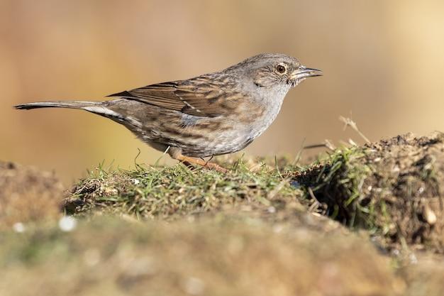 Primo piano di messa a fuoco selettiva dell'uccello dunnock che si alimenta nel prato sull'ocra in spagna