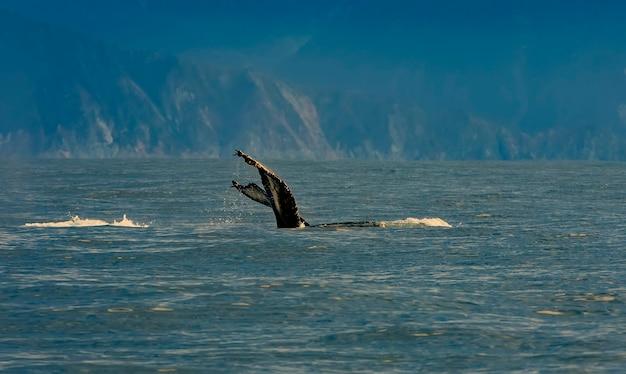Messa a fuoco selettiva. la megattera che nuota nell'oceano pacifico, la coda della balena che si tuffa.