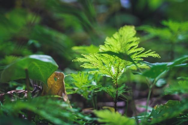 Messa a fuoco selettiva sulla foglia di un arbusto tropicale in una foresta pluviale. costa rica