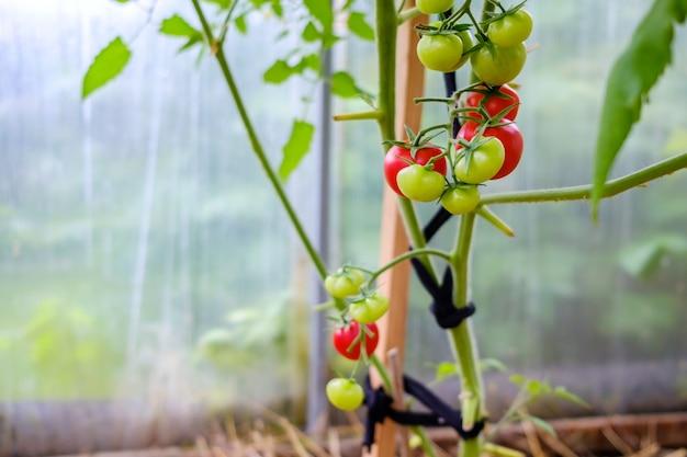 Messa a fuoco selettiva sui pomodori rossi maturi sui rami della serra