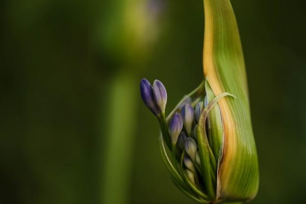 Colpo di messa a fuoco selettiva di un germoglio di agapanthus con fiore che sta per scoppiare