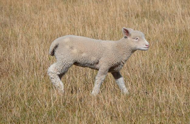 Messa a fuoco selettiva di un agnellino nel campo