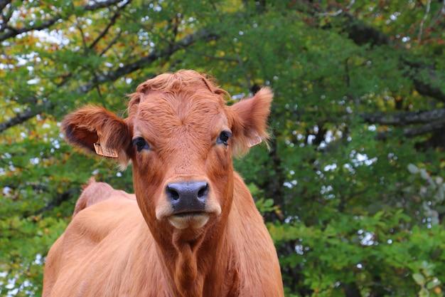 Colpo di messa a fuoco selettiva di una mucca marrone che riposa in un prato