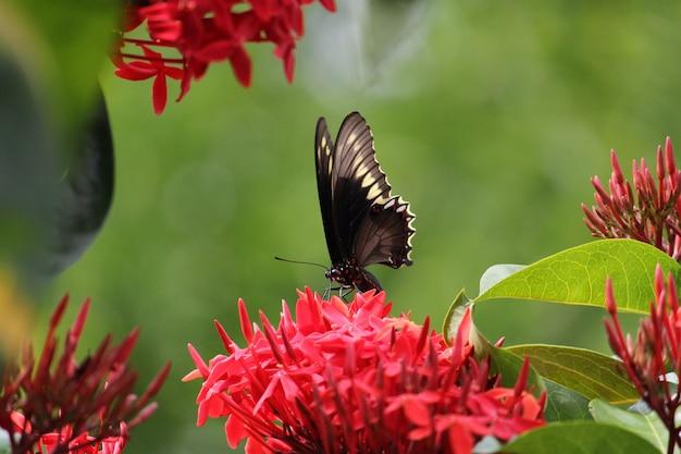 Messa a fuoco selettiva di una farfalla appollaiata su un fiore rosso di ixora