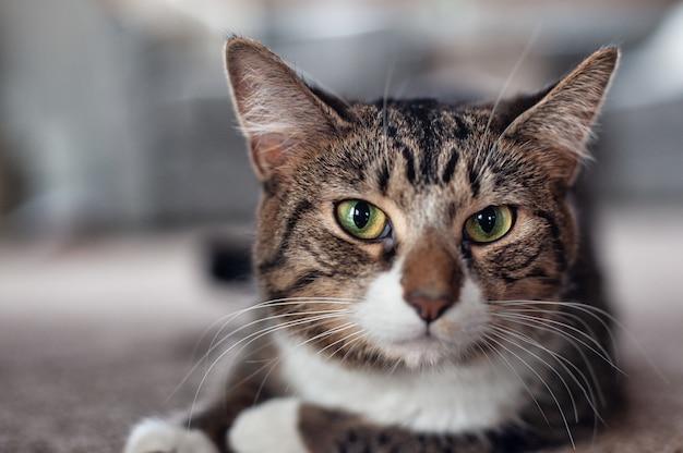 Colpo di messa a fuoco selettiva di un gatto che guarda in una direzione dritta