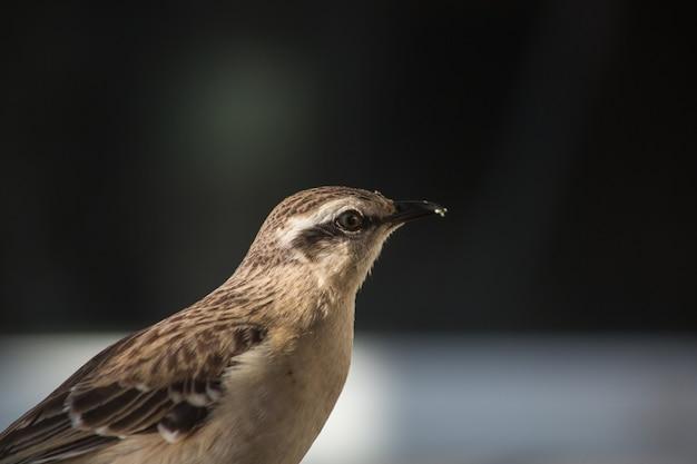 Messa a fuoco selettiva di un mockingbird cileno su una superficie catturata durante il giorno