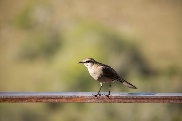 Messa a fuoco selettiva di un mockingbird cileno su una superficie catturata durante il giorno Foto Premium