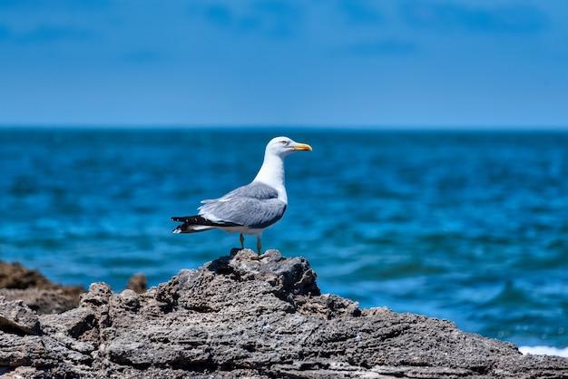 Il fuoco selettivo ha sparato un grande gabbiano dal dorso nero in piedi sulle rocce che si affacciano sul mare blu