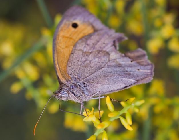 Colpo di messa a fuoco selettiva di una farfalla marrone prato