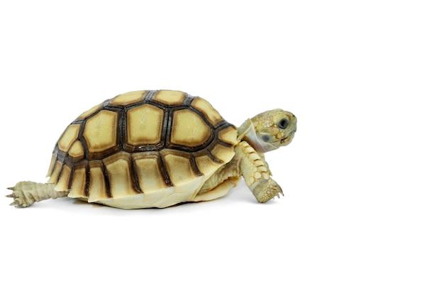 Messa a fuoco selettiva, piccola tartaruga isolata su uno sfondo bianco. il file contiene un tracciato di ritaglio così facile da lavorare.