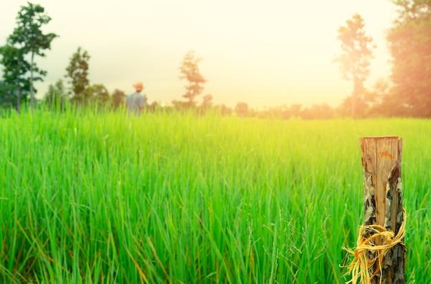 Messa a fuoco selettiva palo di legno sull'agricoltore sfocato e campo di riso verde campo agricolo di riso terreno agricolo