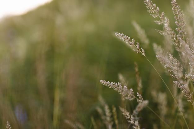Messa a fuoco morbida selettiva di erba secca, canne, steli che soffiano nel vento alla luce dorata del tramonto, colline orizzontali e sfocate sullo sfondo, spazio copia. natura, estate, concetto di erba.