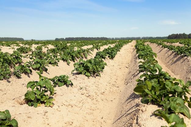 Campo di selskohozyaysvtennoe su cui crescono piante di patate acerbe verdi.