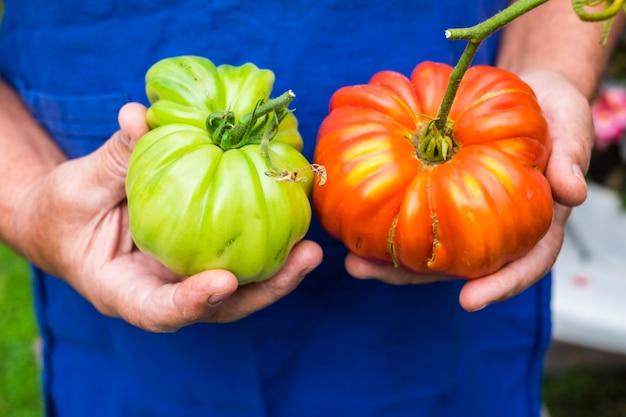 Senior donna adulta invecchiata le mani prendi e ti offrono due pomodori uno verde uno rosso
