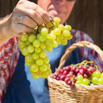 Lavoratore agricoltore uomo anziano che tiene raccolto di uva biologica