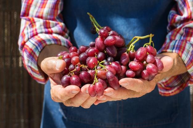 Lavoratore contadino uomo anziano che tiene raccolto di uva biologica