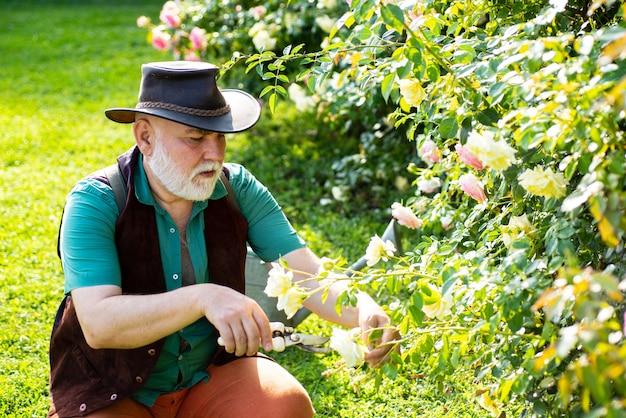 Senior uomo in giardino di rose da taglio. giardinieri con fiori primaverili. nonno che lavora in giardino.