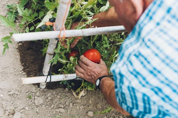 Senior uomo raccolta pomodori maturi nel suo frutteto. vista sopra la spalla dell'uomo maturo che coglie i pomodori maturi dalla pianta nel suo frutteto.