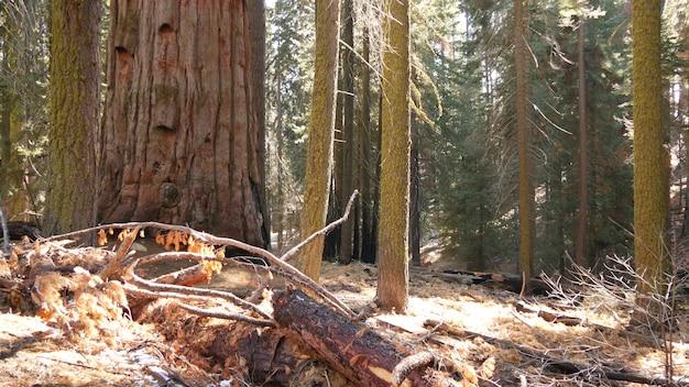Sequoia foresta, alberi di sequoia nel parco nazionale, nel nord della california, stati uniti d'america. bosco vetusto vicino a kings canyon. trekking e turismo escursionistico. pini di conifere lagre unici con tronchi alti e massicci.