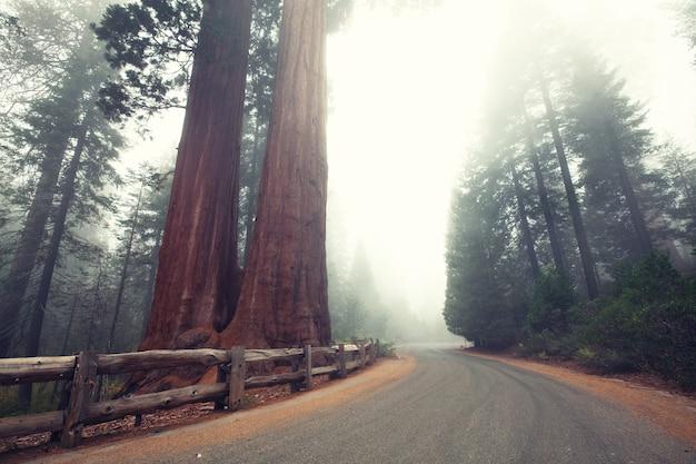 Alberi di sequoia nelle montagne della sierra nevada, california