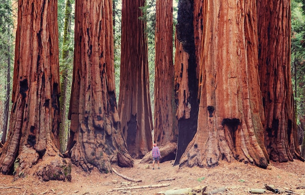 Foresta di sequoie nella stagione estiva