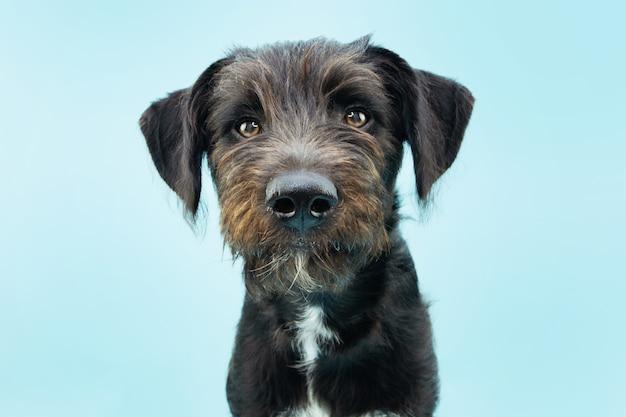 Serio cucciolo di cane nero isolato su blu