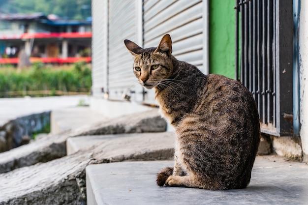 Il gatto a strisce domestico serio è seduto sui gradini della casa. città di pokhara, nepal.