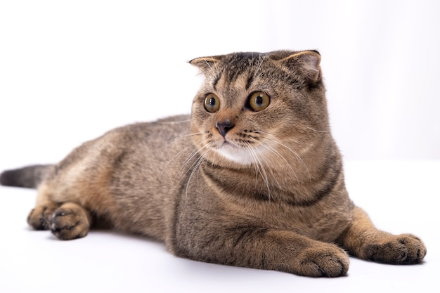 Il gatto marrone del popolare scozzese serio si trova su un tavolo bianco.