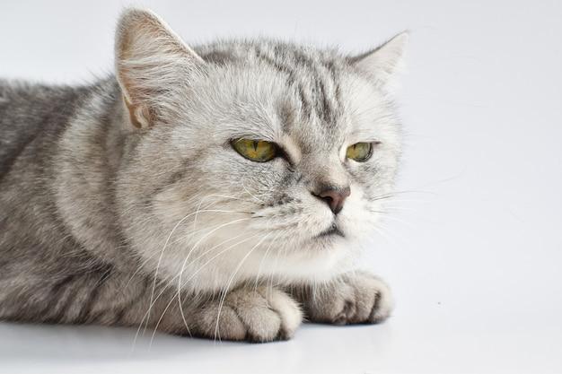 Un gatto soriano serio si addormenta su una superficie bianca