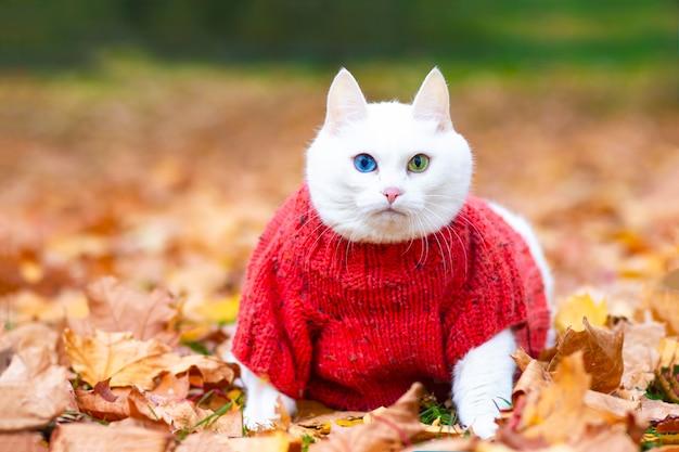 Grave gatto bianco, occhi multicolori. si siede tra le foglie del parco in una giornata autunnale. un animale in un maglione per strada nel parco. umore autunnale. l'animale gioca in foglie d'acero rosse e gialle.