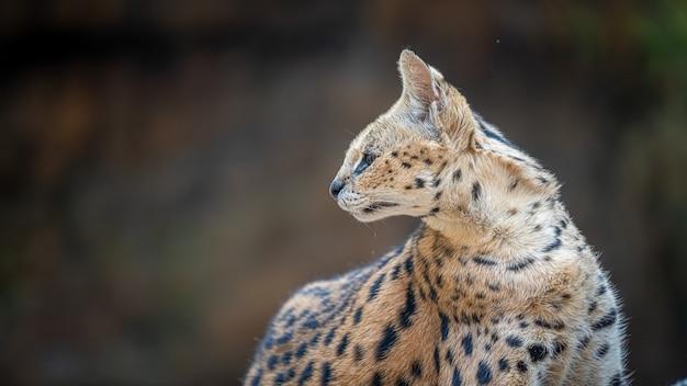 Serval gatto selvatico