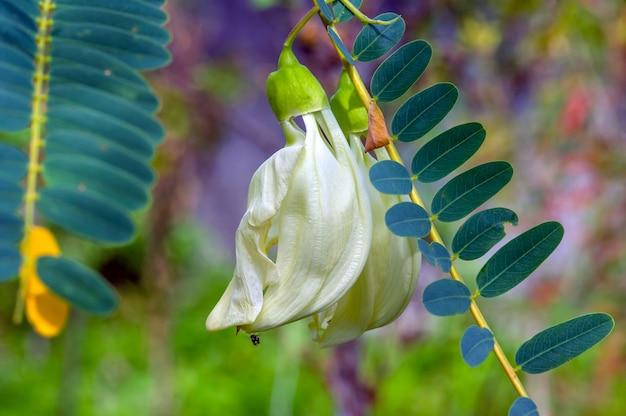 Fiore di sesbania grandiflora, una famosa pianta agroforestale per il cibo, concime verde, foraggio, foraggio, messa a fuoco selezionata. comunemente noto come fiore di agosto, albero del drago bianco, colibrì vegetale, bunga turi.