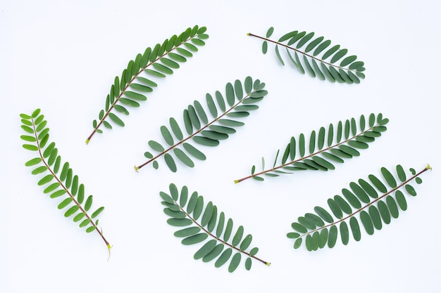 Foglie di sesbania grandiflora.
