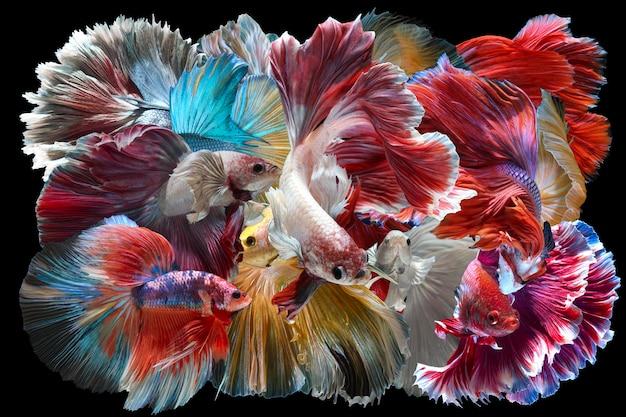 Set di bettafish su sfondo nero. cattura il momento commovente del pesce combattente siamese