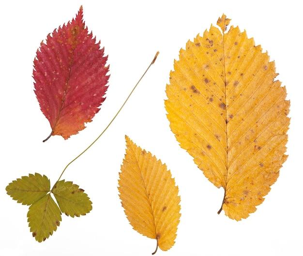 Set di foglie secche di colore diverso per un erbario. isolato su superficie bianca.